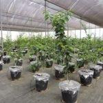 Pesquisa estimula plantas cítricas a se adaptarem à seca