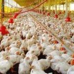 México amplia cota livre de taxação para importar frango brasileiro
