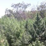 PF erradica 248 mil pés de maconha no sertão pernambucano