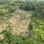 Polícia Federal descobre roça de maconha e destrói 1 tonelada da droga pronta para consumo, entre Pará e Maranhão
