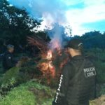 Polícia destrói plantação com mais de dois mil pés de maconha Vitória do Mearim