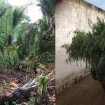 Polícia Civil encontra roça de maconha com  dois mil pés da droga, em Pedro Rosario MA