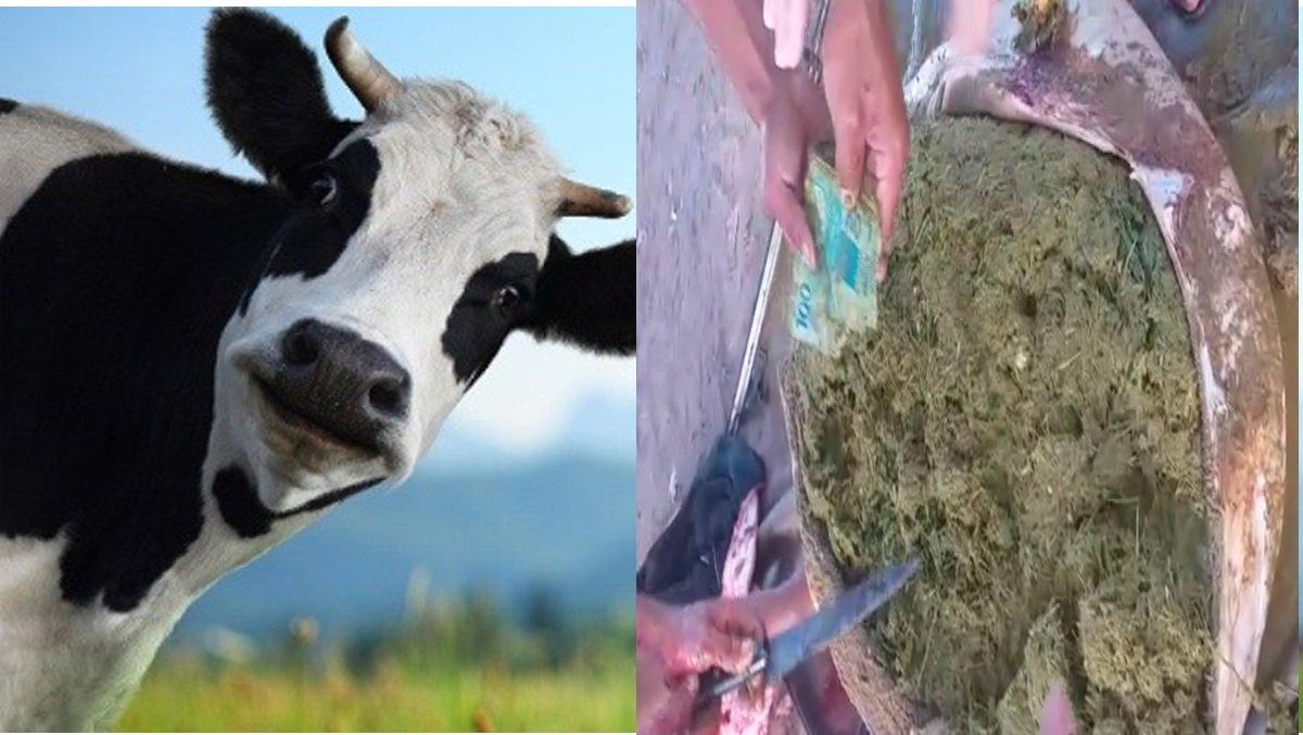 Boi engole R$ 1,500 e dono abate animal para recuperar dinheiro