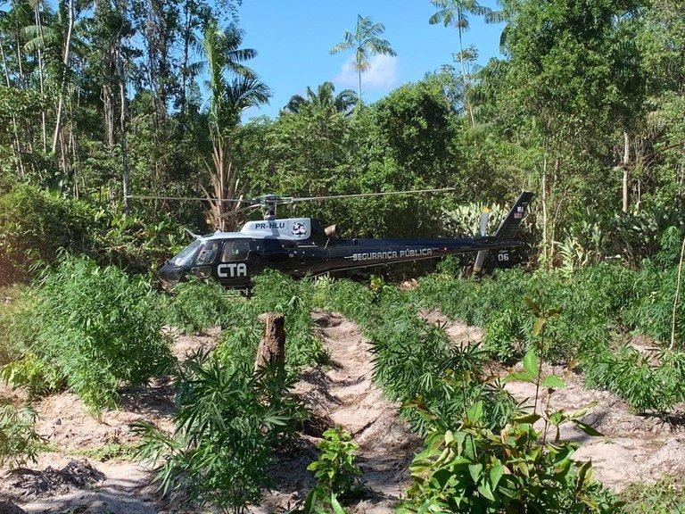 PF promove erradicação de mais de 350 mil pés de maconha no Maranhão